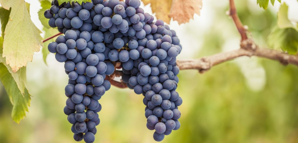 Purple grapes in a vineyard